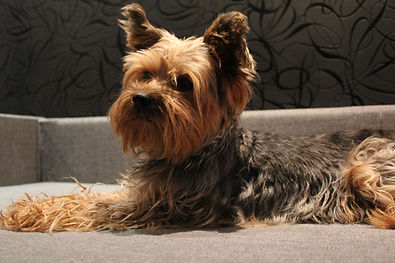 Macro photo animal dog Yorkshire terrier