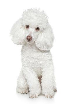 White Toy Poodle sits on white backgroun
