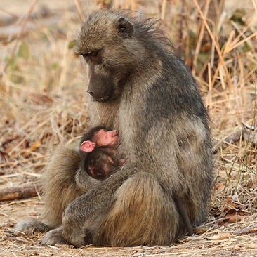Baboon with baby baboon