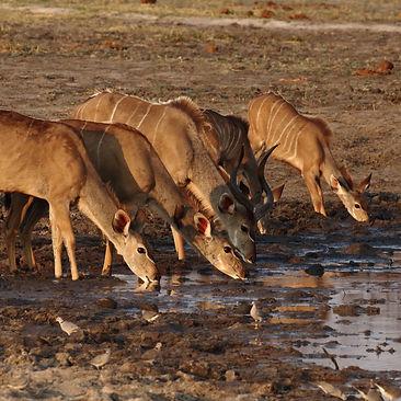 Herd of kudu drinking