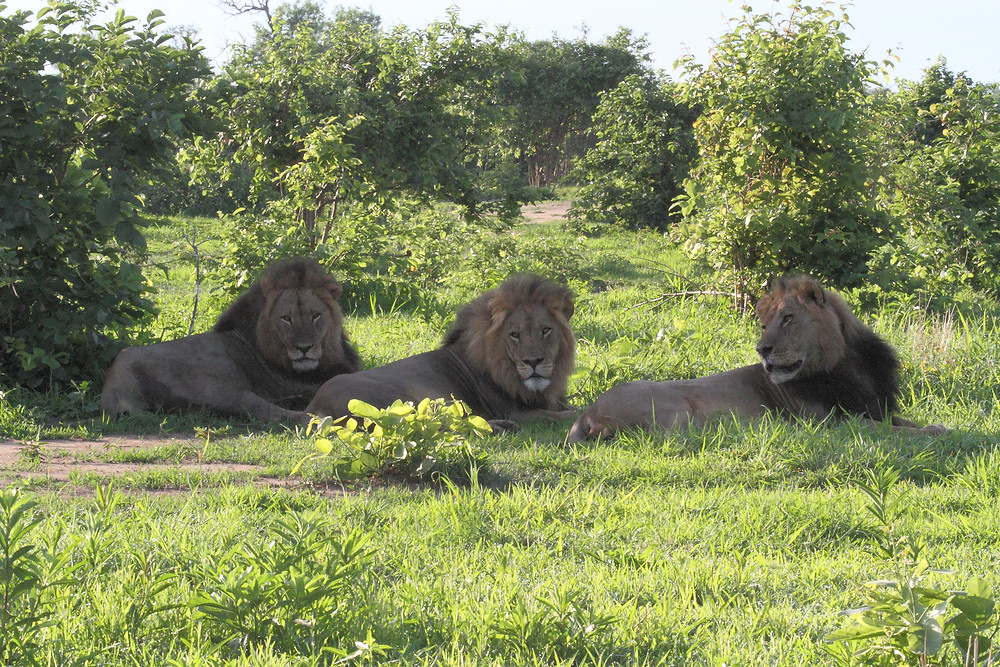 Lion brother coalition in Hwange by Julian Brookstein Safaris