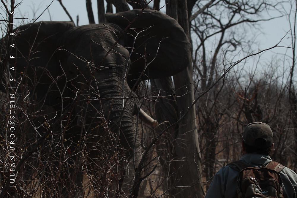 Wild African elephant walking safari encounter