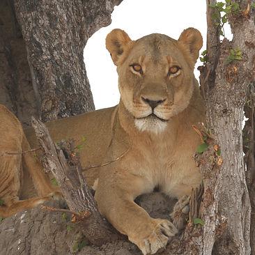 Lioness Julian Brookstein Safaris_edited