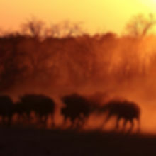 Buffalo herd at sunset