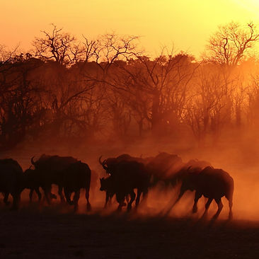Buffalo herd at sunset