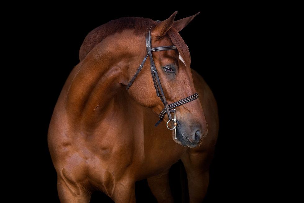 black background equine photos
