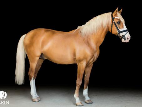 Xerez | Lusitano Stallion | Black Background Portraits