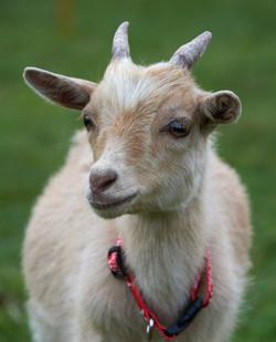 Goat Larp_2019 022
