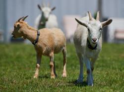 Goat Larp_2019 078