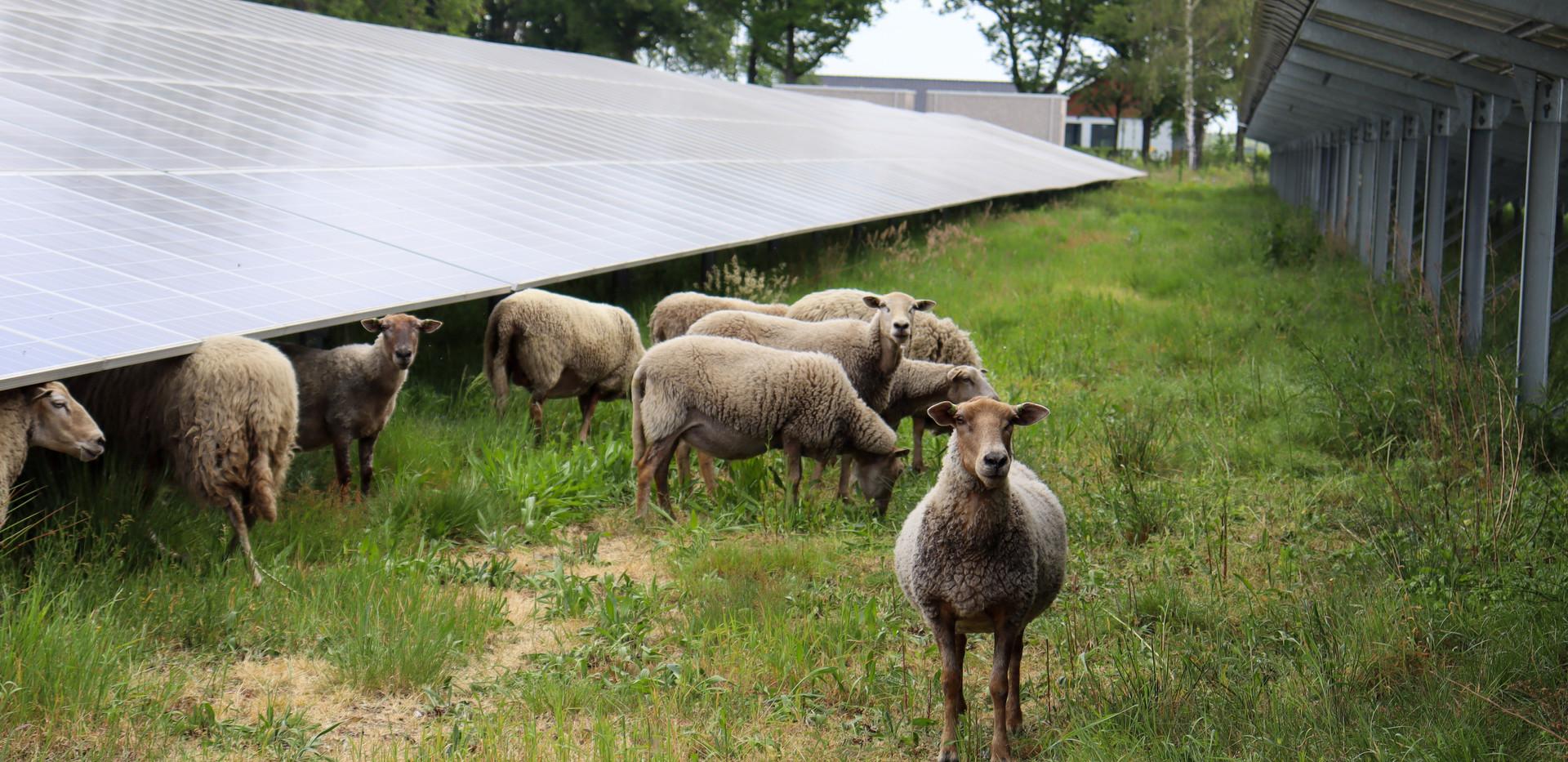 Nieuwsgierige schapen.jpg