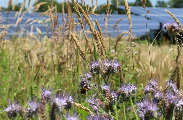 Bijen bij Zonnepark Hoogveld-Zuid