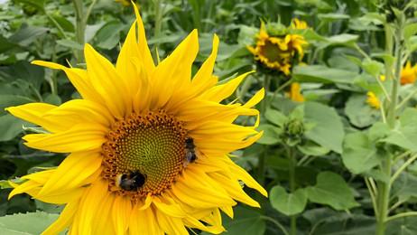 TPSolar helpt bij 'zonnebloemlint' in Lochem