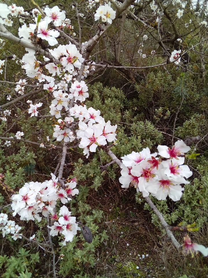 amandier en fleur
