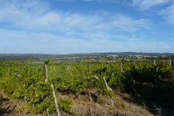 Vignes été