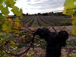 vignes taille
