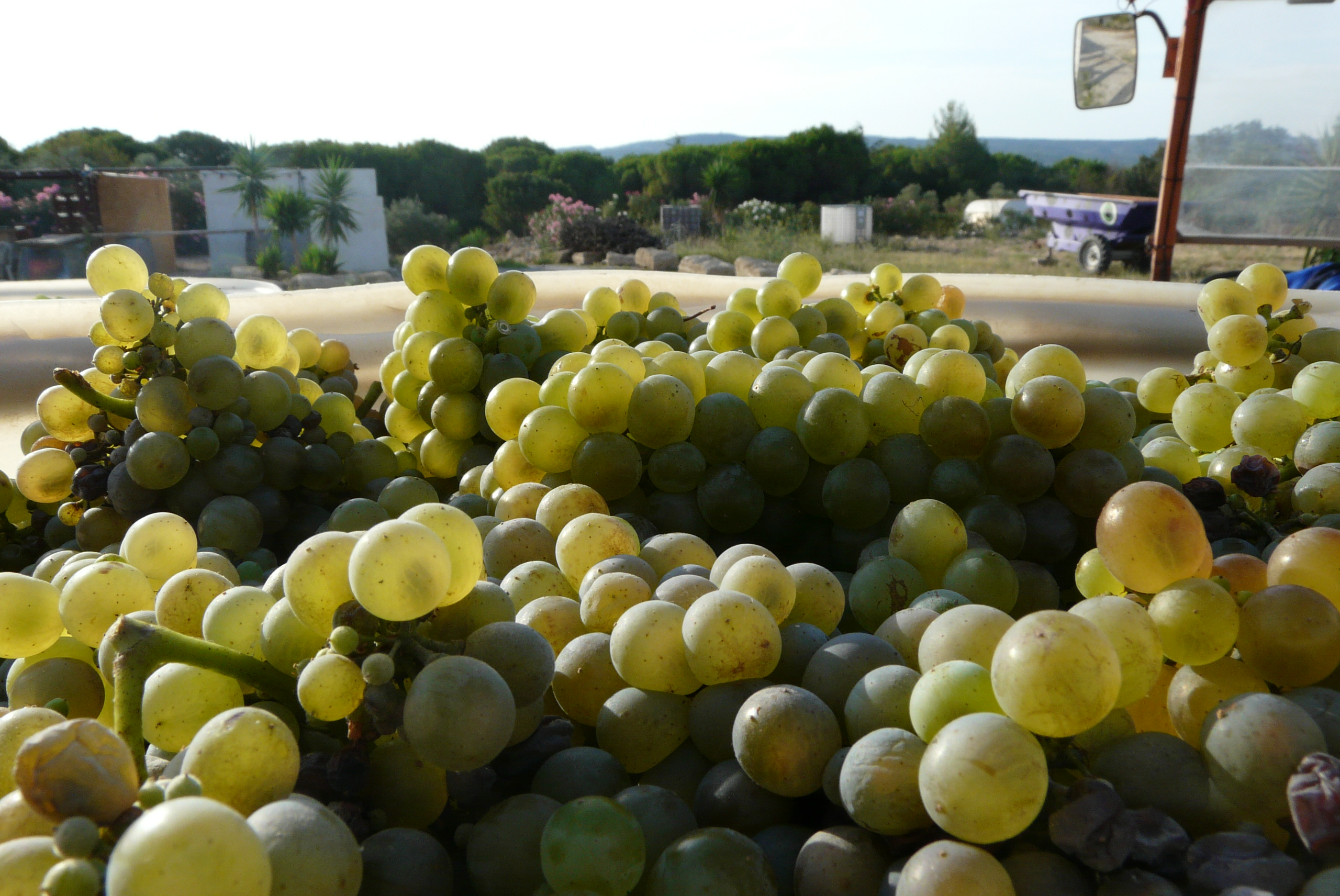 vendanges 2016 viognier