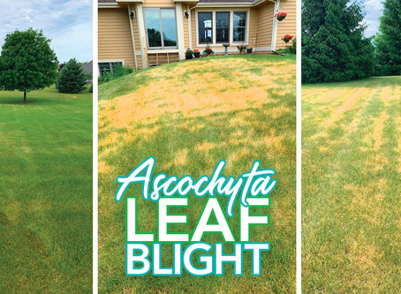 🔺Lawn Alert: Leaf Blight Near You!