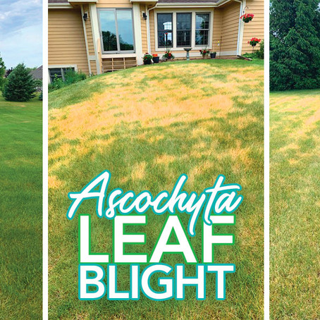 🔺Lawn Alert: Leaf Blight Near You!