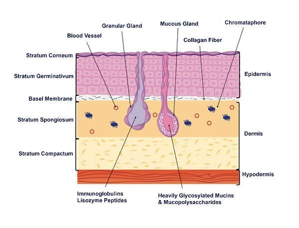 Human Skin Layers.jpg