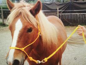A vendre: gentil cheval islandais de 12 ans