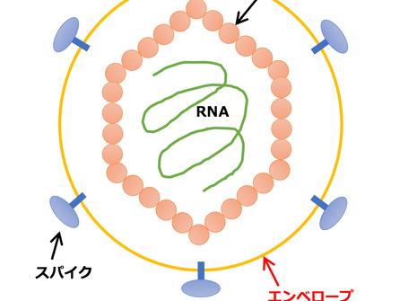 ウイルスの構造と抗ウイルス対策について
