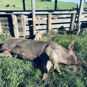 Boris the boar enjoying belly rubs in the sun