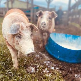Pigs drinking cow milk?!