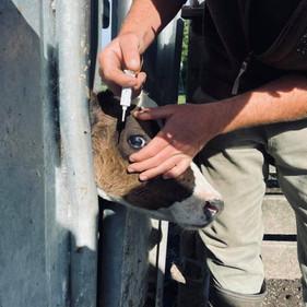 Treating calves for Pink Eye