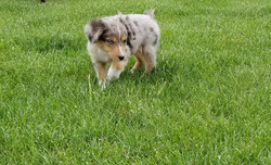Willow as a puppy