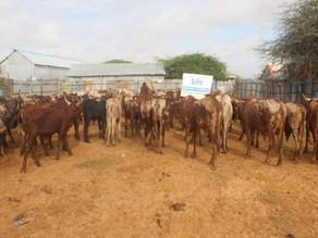 LIFE Distributes Fresh Meat in Somalia