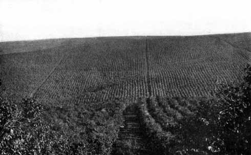 グァタパラ耕地コーヒーの樹海