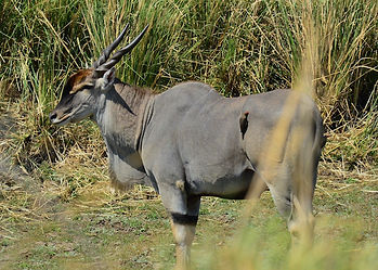 Eland antelope broadside with oxpecker on its back, in front of long grass rushes in Namibia hunting game reserve.
