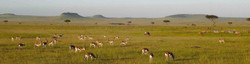 Classic East Africa grassland savanna plain of grazing herds of gazelle, with spotted acacia trees.