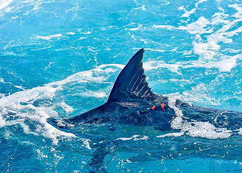 """Marlin caught at the surface of the Indian Ocean, showing red tag, being released, after a successful boat """"tag & release""""."""