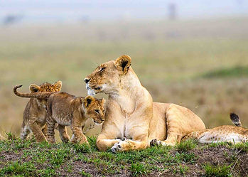 Lioness & three cubs on small kopje with faded Masailand savanna grassland behind denoting sustainable hunting conservation.