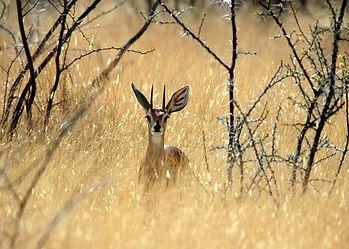 Africa-Namibia-Hunting-Safaris-Steenbok-