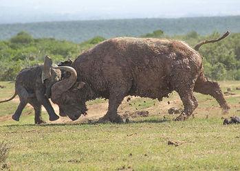 Cape buffalo intimidating an elephant calf in the Chirisa hunting safari area of Sengwa in the Gokwe District of Zimbabwe.