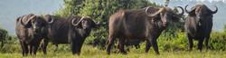 Four big black cape buffalo, heads facing, in fresh green grass and thornbush scrubland.
