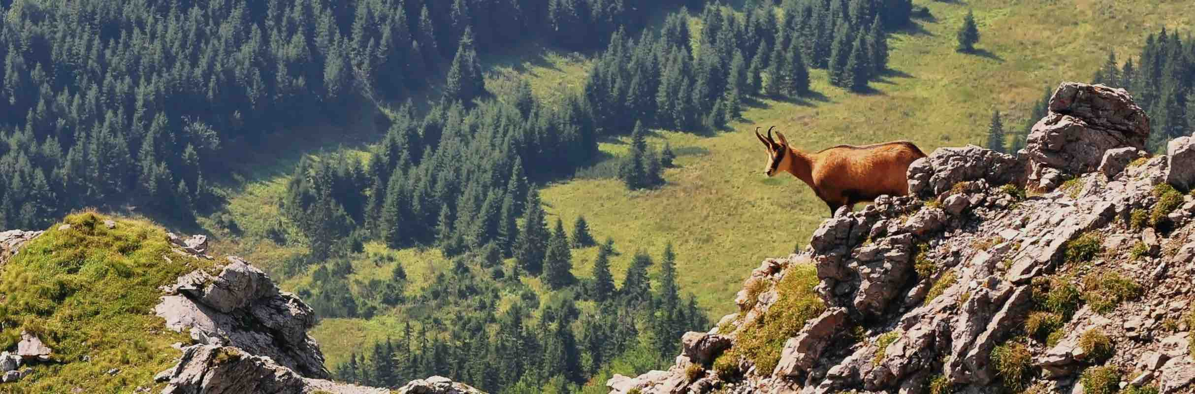 Ethical, sustainable use hunting conservation management mountain hunting for Alpine Chamois in Euro