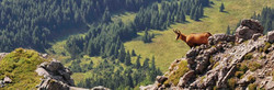 Alpine Chamois overlooking hunting forest in Switzerland from rocky, woodland conservation area