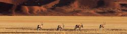 Four Gemsbok Oryx walking, heads down across arid flat grassland of Sossusvlei, Namibia.