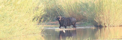 Alone African cape buffalo crossing a wetland water reed bed in Mozambique, classic hunting safaris