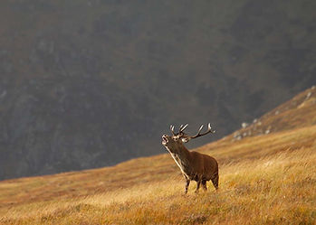 Red deer stag stalking in the highland mountains of Scotland; sustainable use wildlife conservation hunting management.