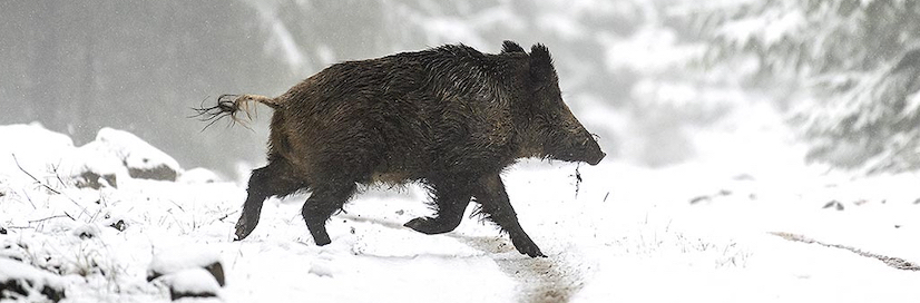 Single wild boar, driven across snow covered woodland ride track, in hunting estate area on Croatia
