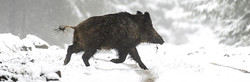 Single wild boar, driven across snow covered woodland ride track, in hunting estate area on Croatia.