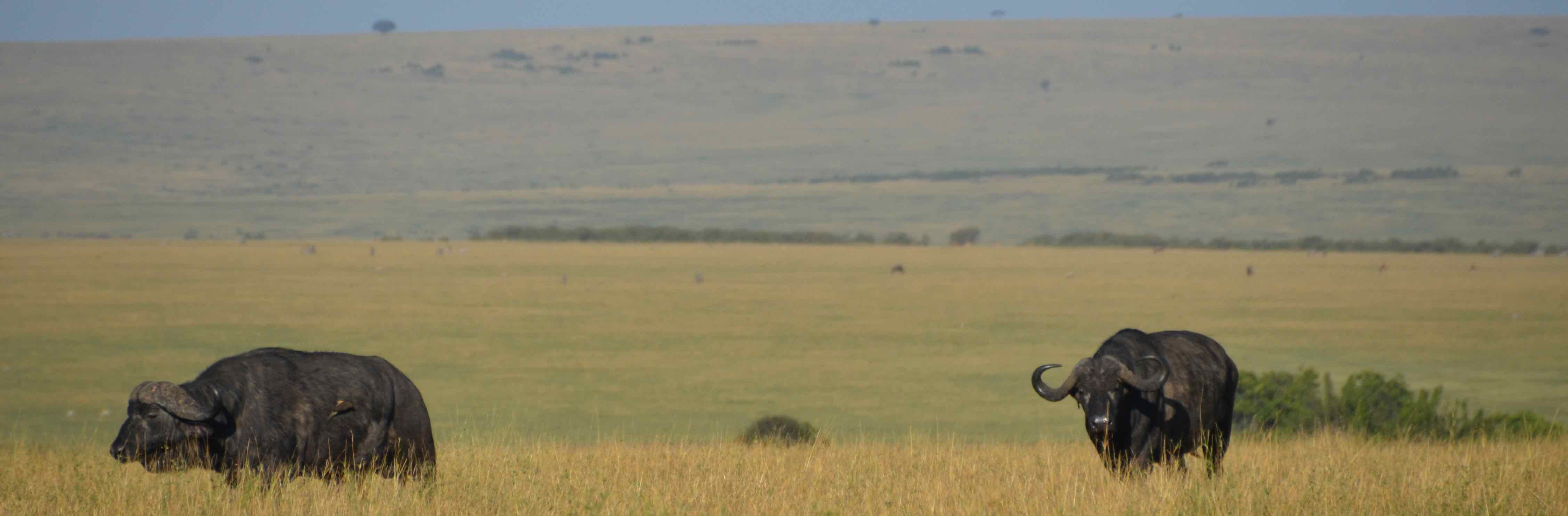 Two African Cape Buffalo on the savanna grasslands of Maasai land, Tanzania community conservation.