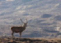 Red-Deer-Stalking-Scotland-Stag-Hunting-