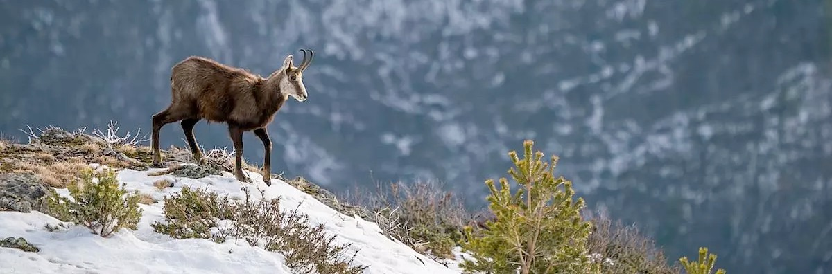 Specialist Alpine & Balkan Chamois hunting in Slovenia and Croatia, and Pyrenean & Cantabrian Chamoi