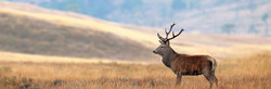 Red deer stag in open grass hill in highland Cairngorms Scotland, stalking & hunting management.