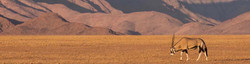 Single Oryx gazella, gemsbok crossing classic semi-arid desert mountains in Namibia, Africa.